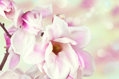 Fresh, blossom pink magnolia Stock Photos