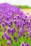 Fresh Blossoming Lavender. Summertime Outdoors. Stock Image
