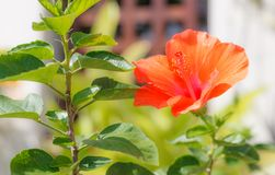Fresh blossoming orange color Hibiscus rose mallow Flower, cultivated as outdoor decorative or ornamental flowering houseplants. Background, Nature, Gardening royalty free stock photo