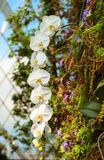 Fresh blossoming white orchid plant flowers on one branch. In green tropical garden glasshouse Royalty Free Stock Image