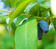 Fresh blue berries honeysuckle Royalty Free Stock Photos