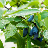 Fresh blue berries honeysuckle Stock Photos