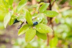 Fresh blue berries honeysuckle. Woodbine (lonicera) close up Royalty Free Stock Images