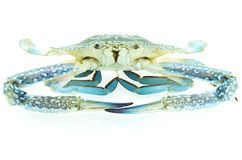 Fresh blue crab. Isolated on white Stock Images