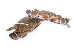 Fresh blue crab on white background Royalty Free Stock Image