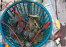 Fresh blue crabs royalty free stock photography