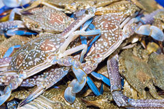 Fresh blue crabs on ice exposition at the seafood market In Thai. Land. Display of raw crab catch of the day Royalty Free Stock Photo