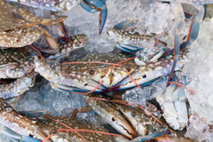 Fresh blue crabs on ice. In the market Royalty Free Stock Photos