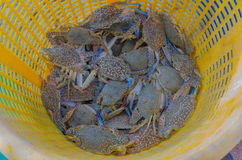 Fresh Blue crabs. Is marine products at PMY beach Rayong Thailand Royalty Free Stock Image