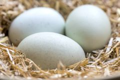Fresh blue eggs. Three blue eggs in a nest of hay that are laid by theses breeds Legbar, Ameraucana,  Araucana and Easter chickens, front focus blurred Stock Photo