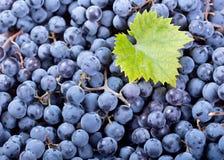 Fresh blue grape Royalty Free Stock Photography