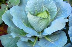 Fresh blue / green cabbage plant closeup close-up Stock Images