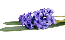 Fresh blue hyacinth flower Stock Images