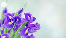 Blue irise flowers Royalty Free Stock Images