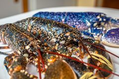 Colorful lobsters. Fresh blue and regular lobster from Normandy Stock Photos