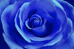 Fresh blue rose with open petals close-up Stock Photo
