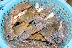 Fresh Blue Swimming Crab Royalty Free Stock Images