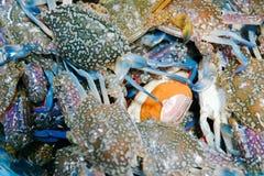 Fresh Blue Swimming Crab Stock Image