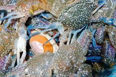 Fresh Blue Swimming Crab Stock Photo