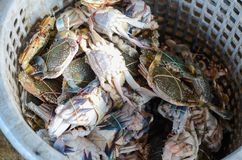 Fresh blue swimming crabs in a basket stock image