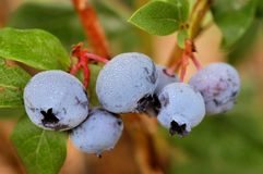 Fresh Blueberries. A group of ripe blueberries wait to be picked Royalty Free Stock Photos