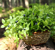 Fresh blueberries Stock Image