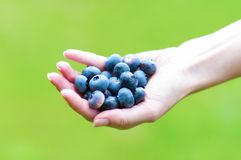 Fresh Blueberries. In a Woman Hand Royalty Free Stock Photo