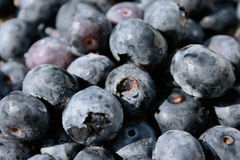 Fresh Blueberries. Fresh moist pile of Blueberries royalty free stock images