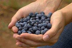 Fresh Blueberries Royalty Free Stock Photography