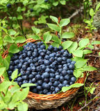 Fresh blueberries in a basket Royalty Free Stock Photos