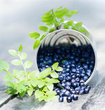 Fresh  Blueberries in a bowl jar with leaves on wooden old dark Stock Photo