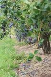 Fresh blueberries bush Royalty Free Stock Photo