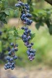 Fresh blueberries Royalty Free Stock Image