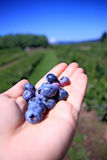 Fresh Blueberries in Hand royalty free stock photo
