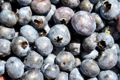 Fresh Blueberries. Fresh, hand-picked organic blueberries from a local farmer in Maryland Royalty Free Stock Image