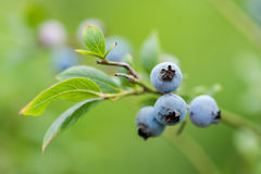 Fresh blueberries in nature outdoors Royalty Free Stock Photo