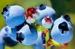 Fresh Blueberries ripening on the bush. Juicy Blueberries ripening on the bush Royalty Free Stock Photography