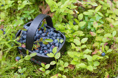 Fresh blueberry in basket Royalty Free Stock Photo