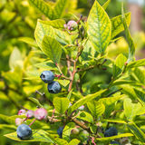 Fresh blueberry. In the garden Royalty Free Stock Photo