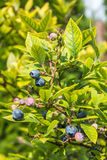 Fresh blueberry. In the garden Royalty Free Stock Image