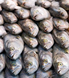 Fresh Bluefish Stock Image