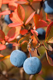 Fresh bog bilberry Stock Image