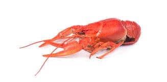 Fresh boiled red crayfish, isolated on white background. royalty free stock photo