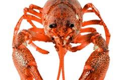 Fresh boiled red crayfish isolated on white background. Royalty Free Stock Photos