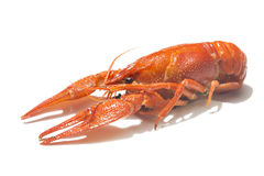 Fresh boiled red crayfish isolated on white background with shadows Stock Photos