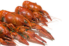 Fresh boiled red crayfish in a row with herbs isolated on white background with shadows Royalty Free Stock Photo