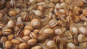 Fresh boiling snails stock video footage