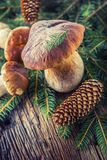 Fresh boletus edulis mushrooms with spruce bunch and cones on rustic woden table Royalty Free Stock Photo