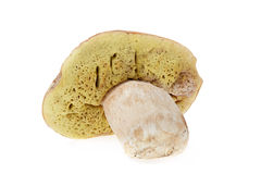 Fresh boletus Stock Photography