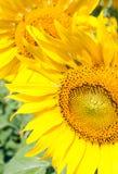 Fresh booming sunflower Stock Photos
